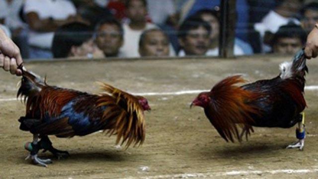 Taruhan Game Sabung Ayam Android