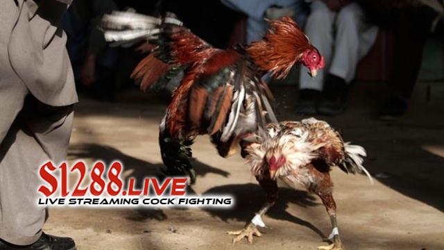 Judi Sabung Ayam Online Paling Hoki